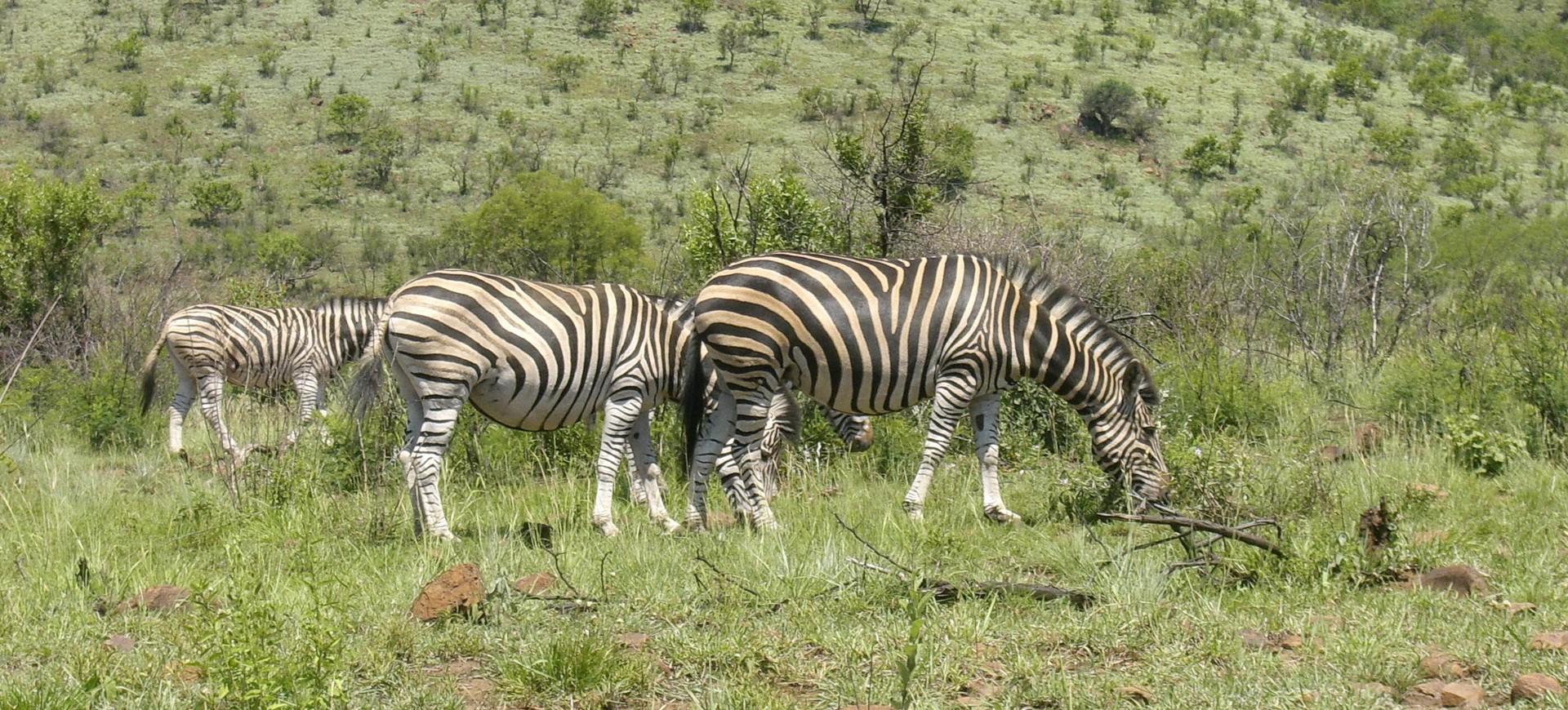 Troupeau  de Zèbres dans le Kruger Parc en Afrique du Sud