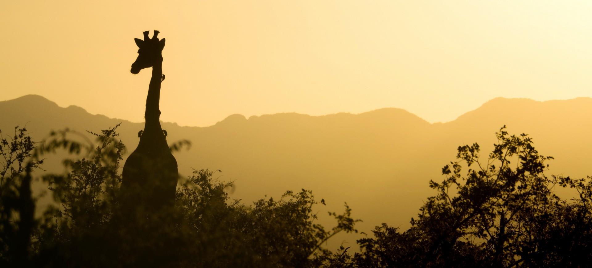 Girafe au couché du soleil dans la réserve d'animaux Kruger