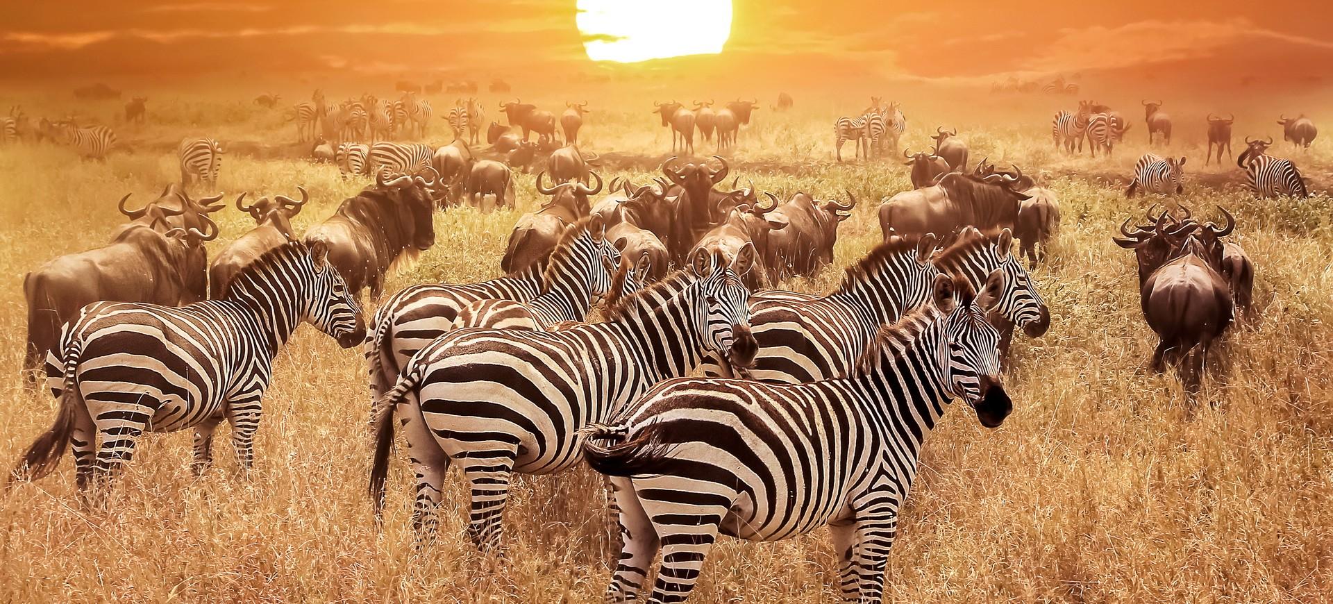 Zèbres dans le Parc Kruger