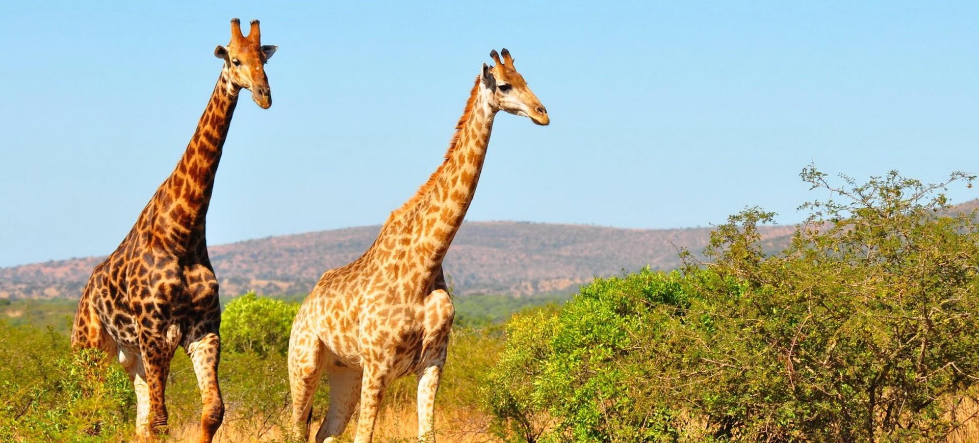 Girafes dans la réserve Hluhluwe Umfolozi