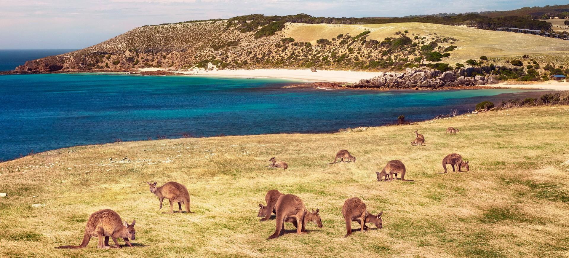 Kangaroos à Stokes Bay à Kangaroo Island Australie