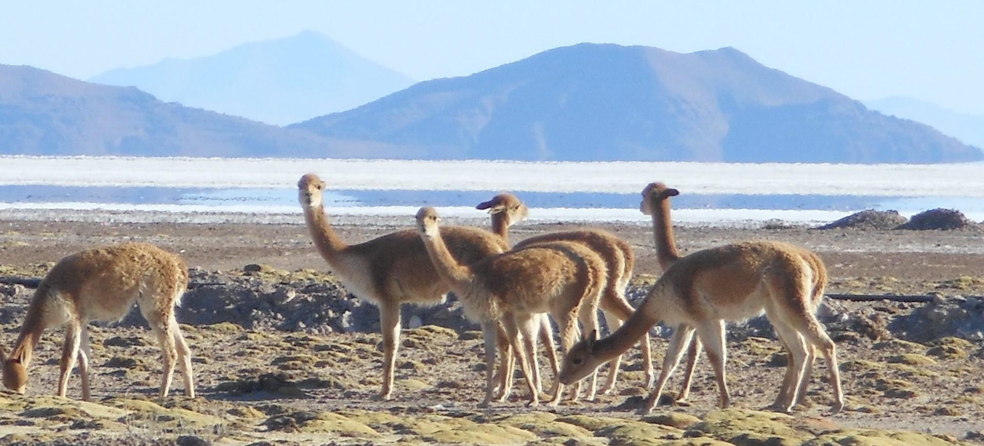 Troupeau de Lamas à Uyuni en Bolivie