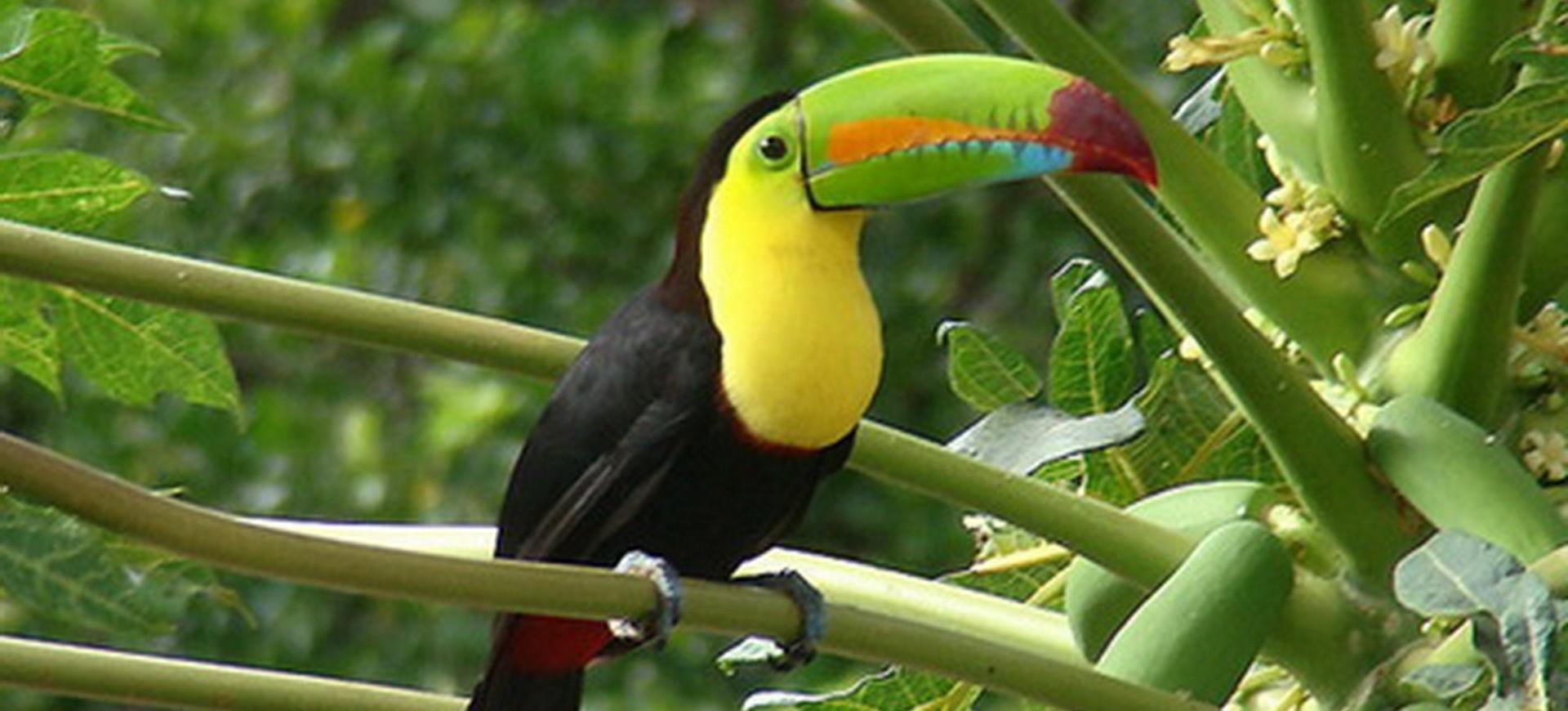 Costa Rica Arenal Toucan