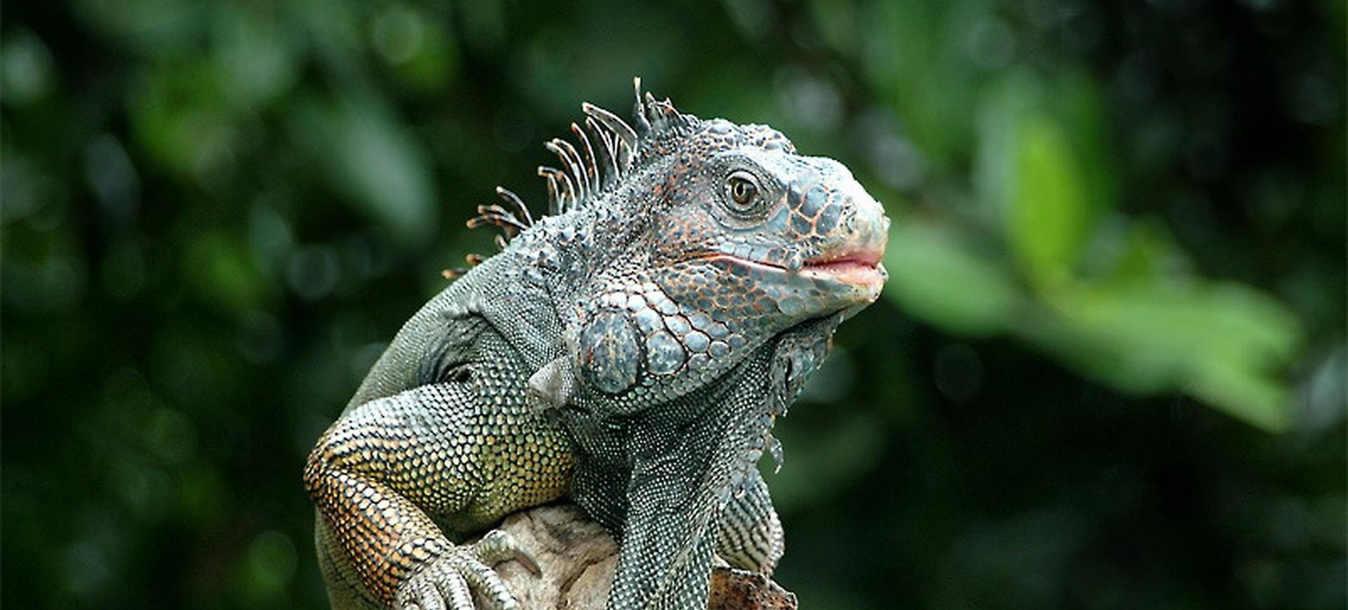 Iguane dans la forêt tropical au Costa Rica