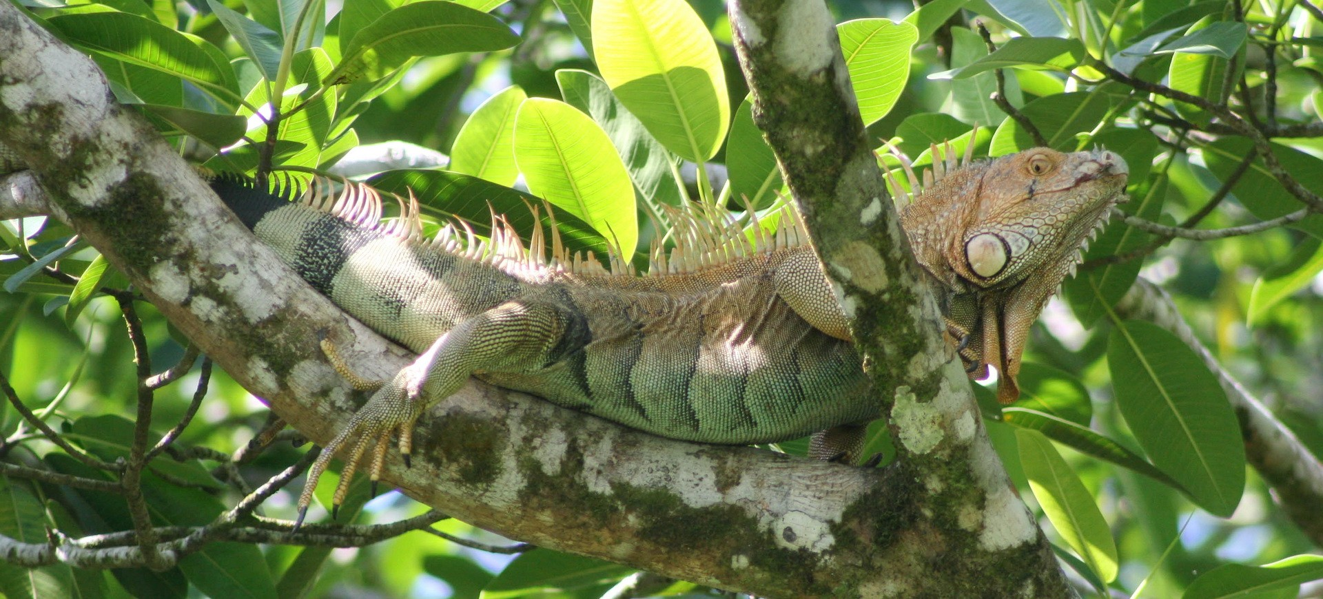 Costa Rica Rincon de la Vieja Caméléon