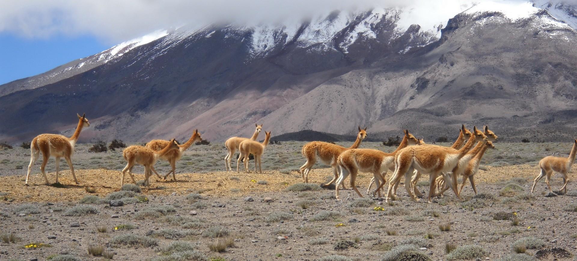Lamas dans les hauts plateaux en Equateur