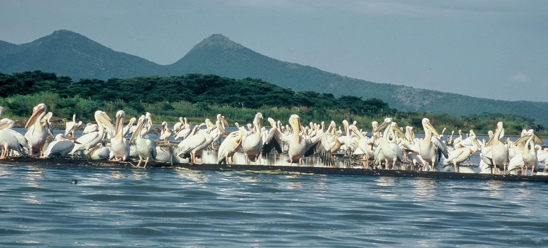 Lac de Langano et Pélicans en Ethiopie