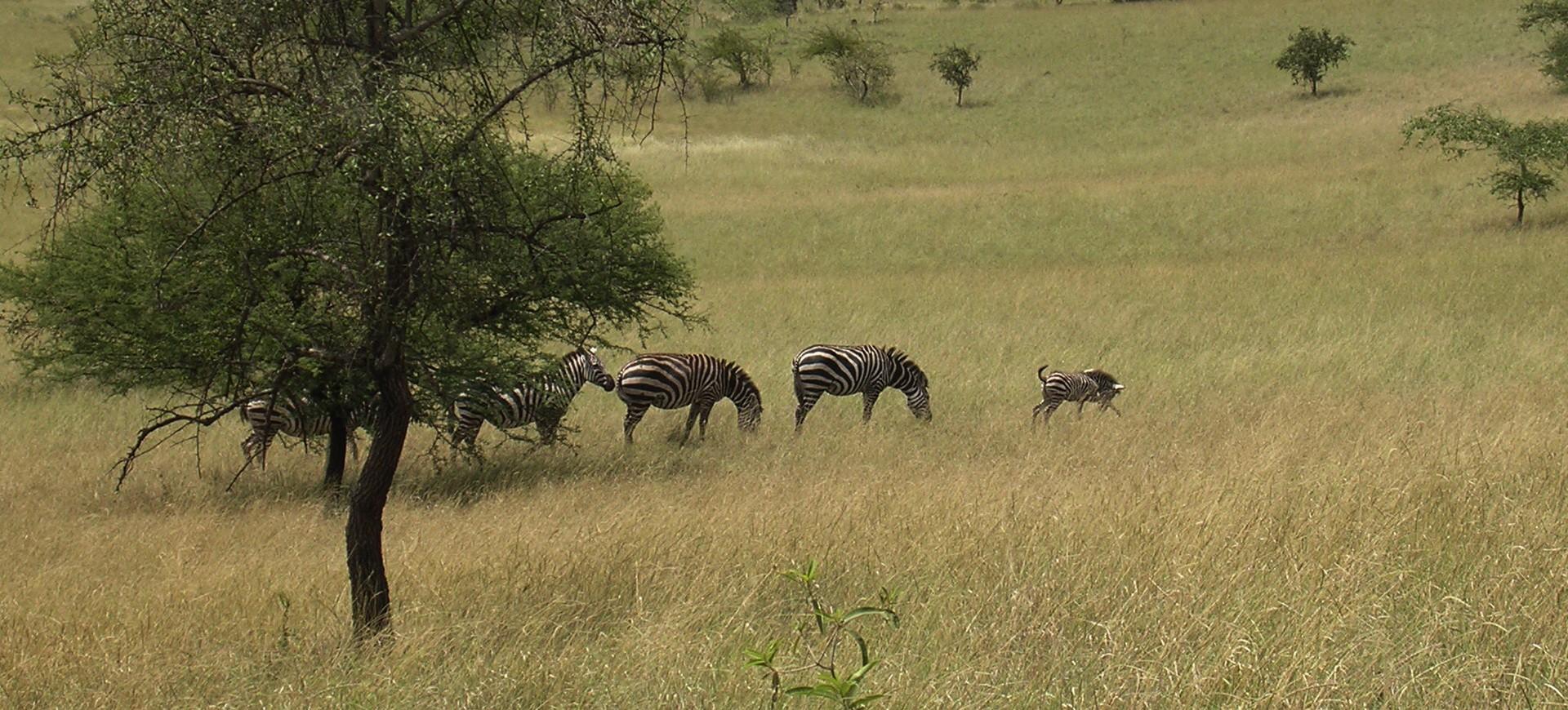Ethiopie Réservre animaux Zèbres