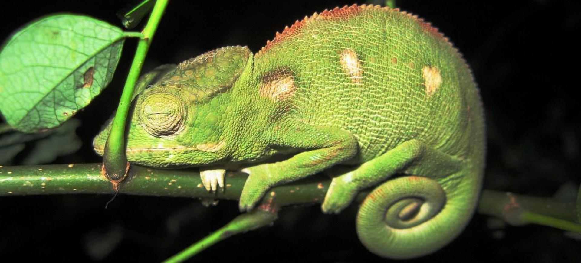 Caméléon dans la forêt à Madagascar