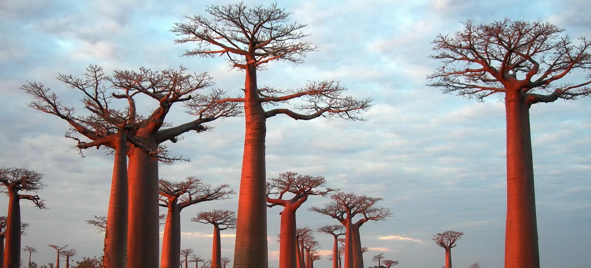 Baobab à Ifaty à Madagascar