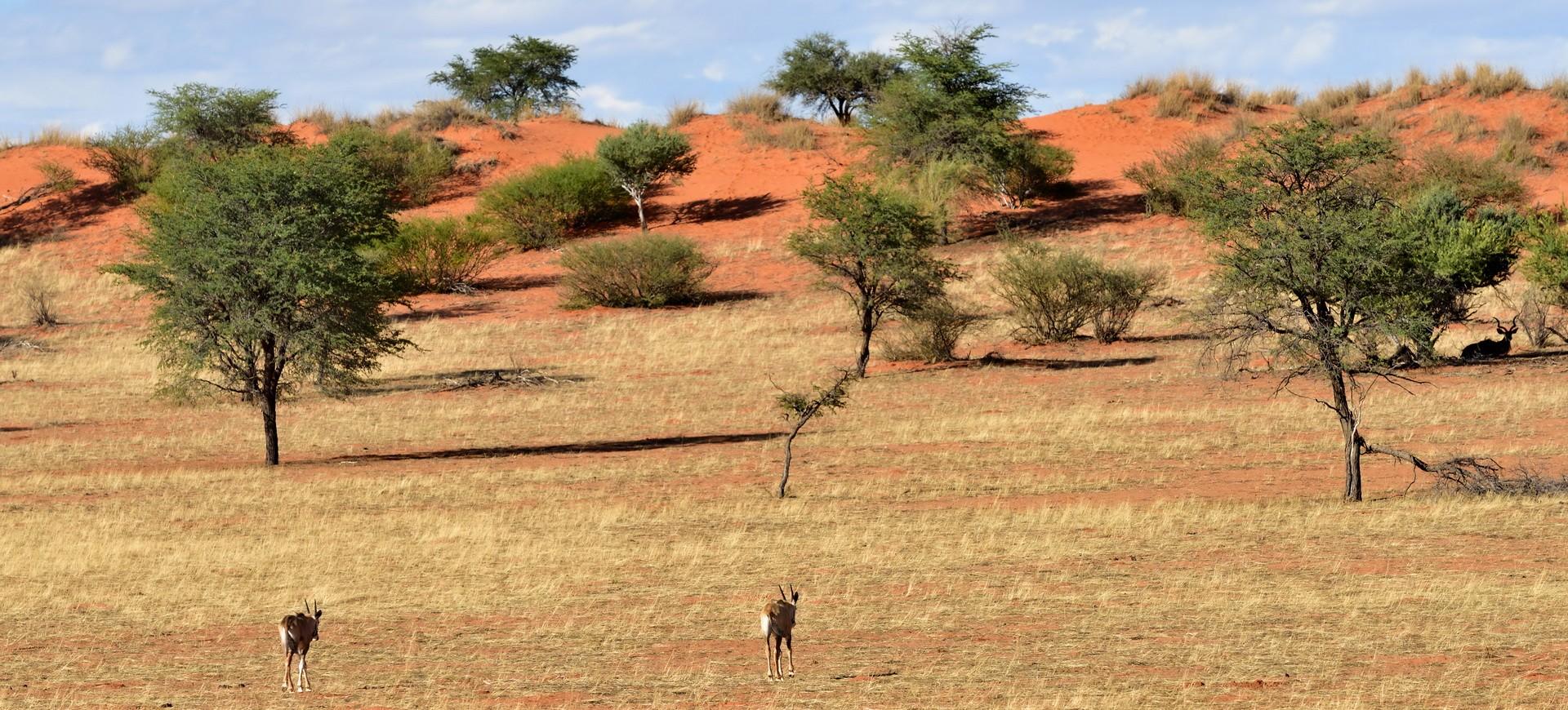 Namibie Biches dans la Réserve d'animaux d'Etosha