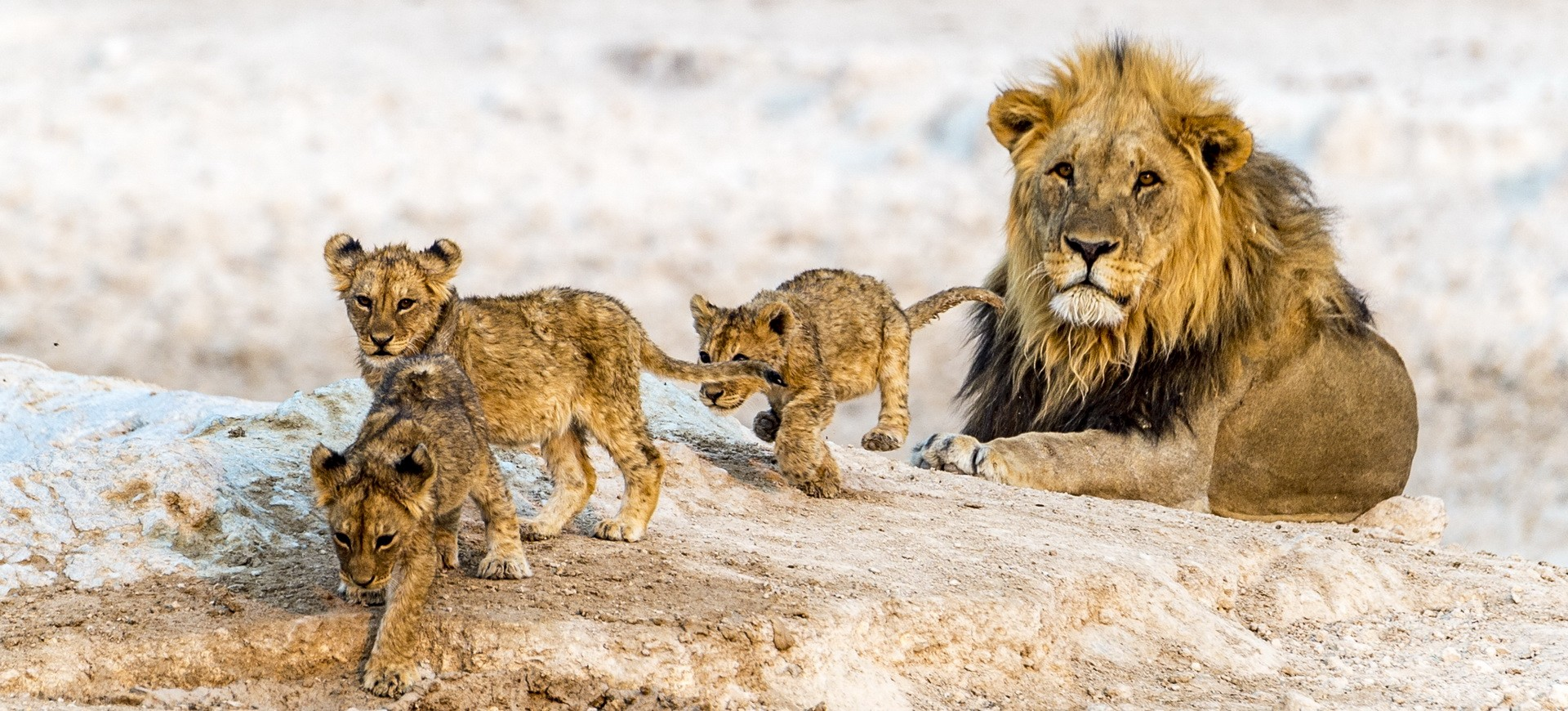 Famille de Lions dans la réserve d'animaux à Etosha