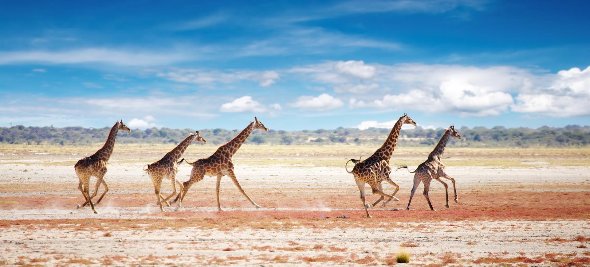 Namibie Etosha Girafes dans la Réserve d'animaux