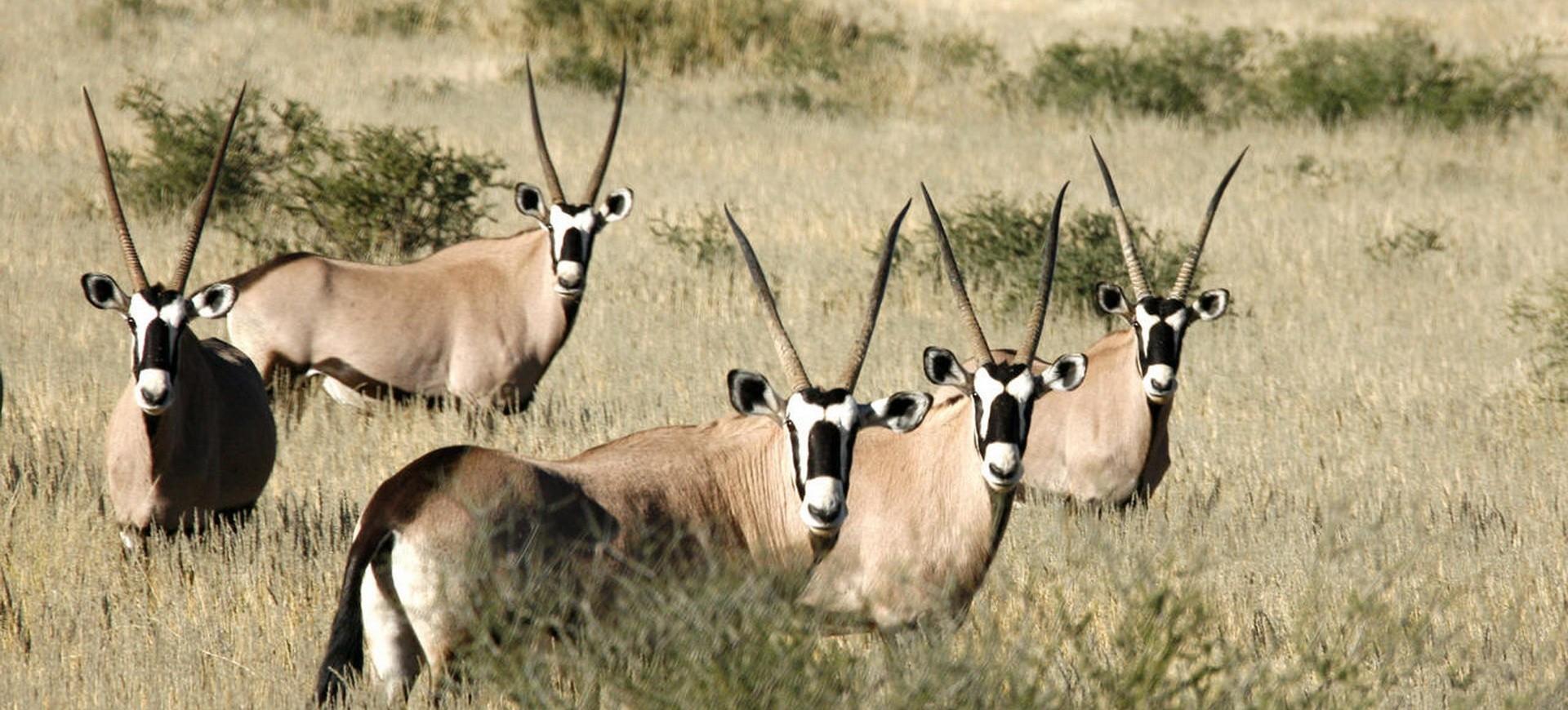 Namibie Parc national d'Etosha Gazelles