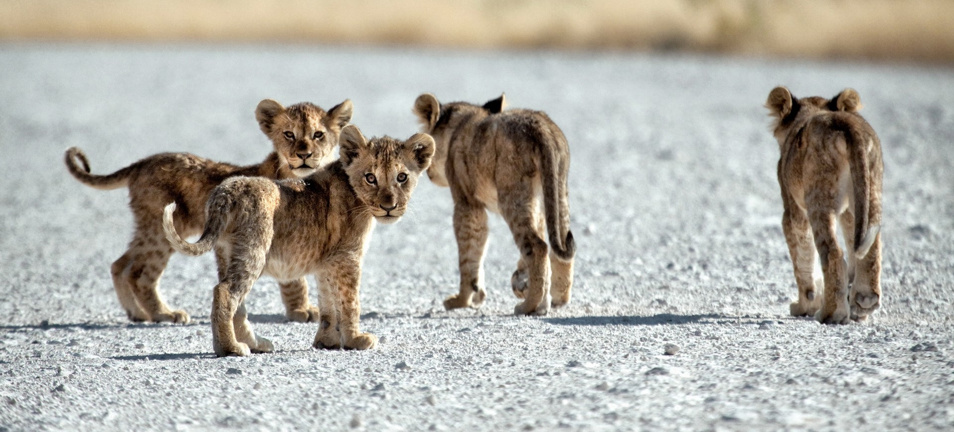 Namibie Parc national d'Etosha Lionceaux