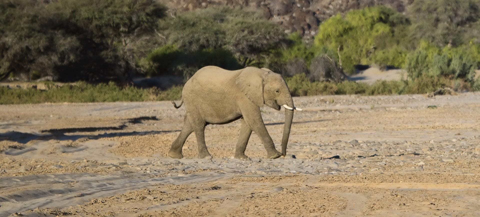 Namibie Damaraland Kunene Eléphants sauvages du désert