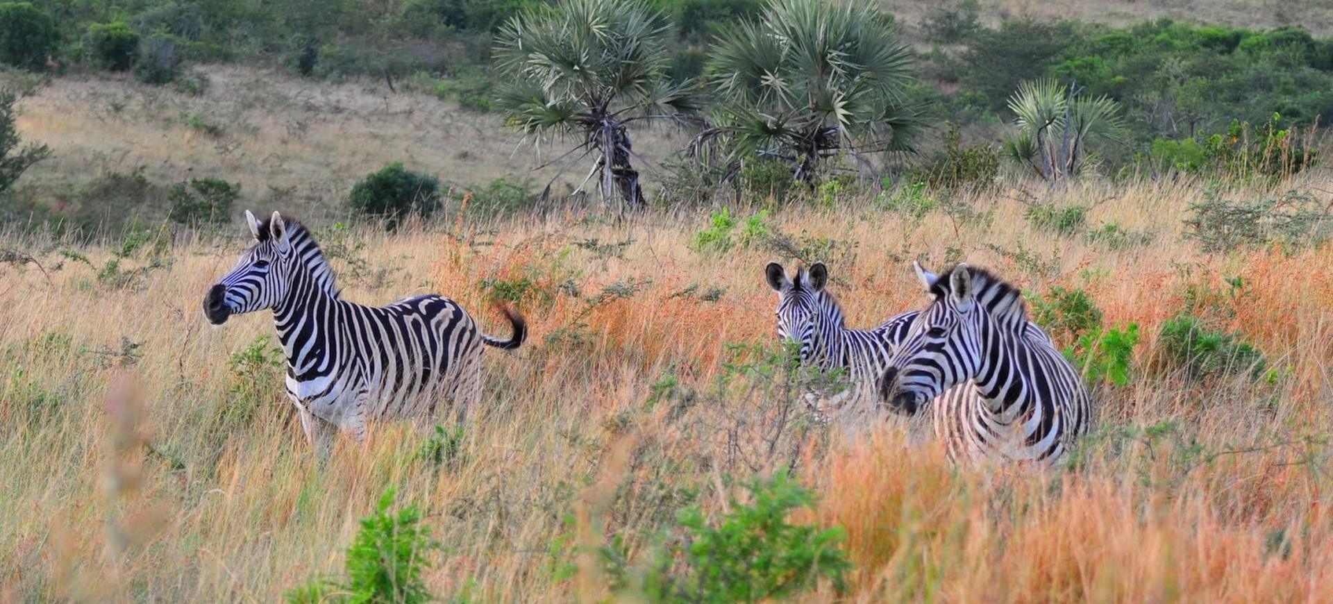 Namibie Parc National d'Etosha Troupeau de Zèbres