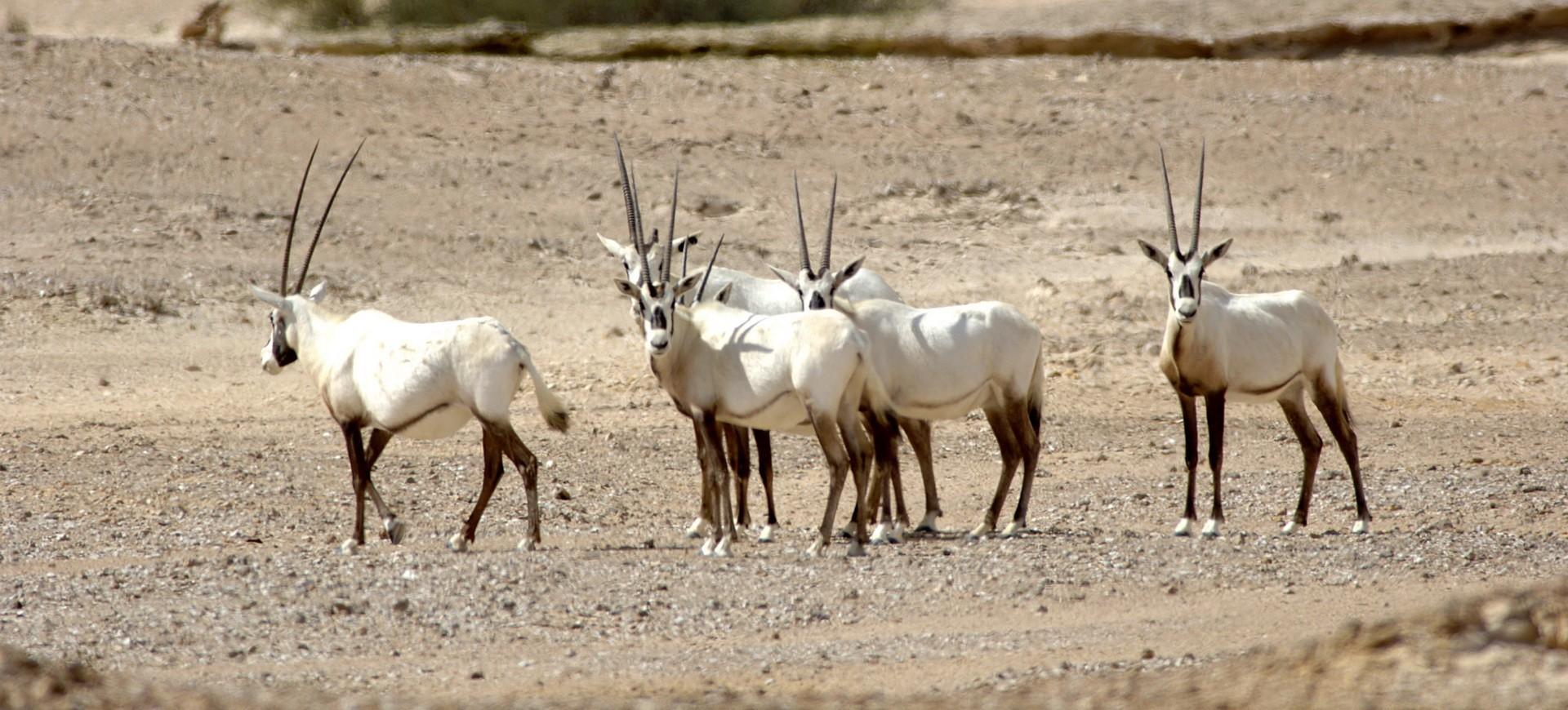 Oman Réserve d'Oryx