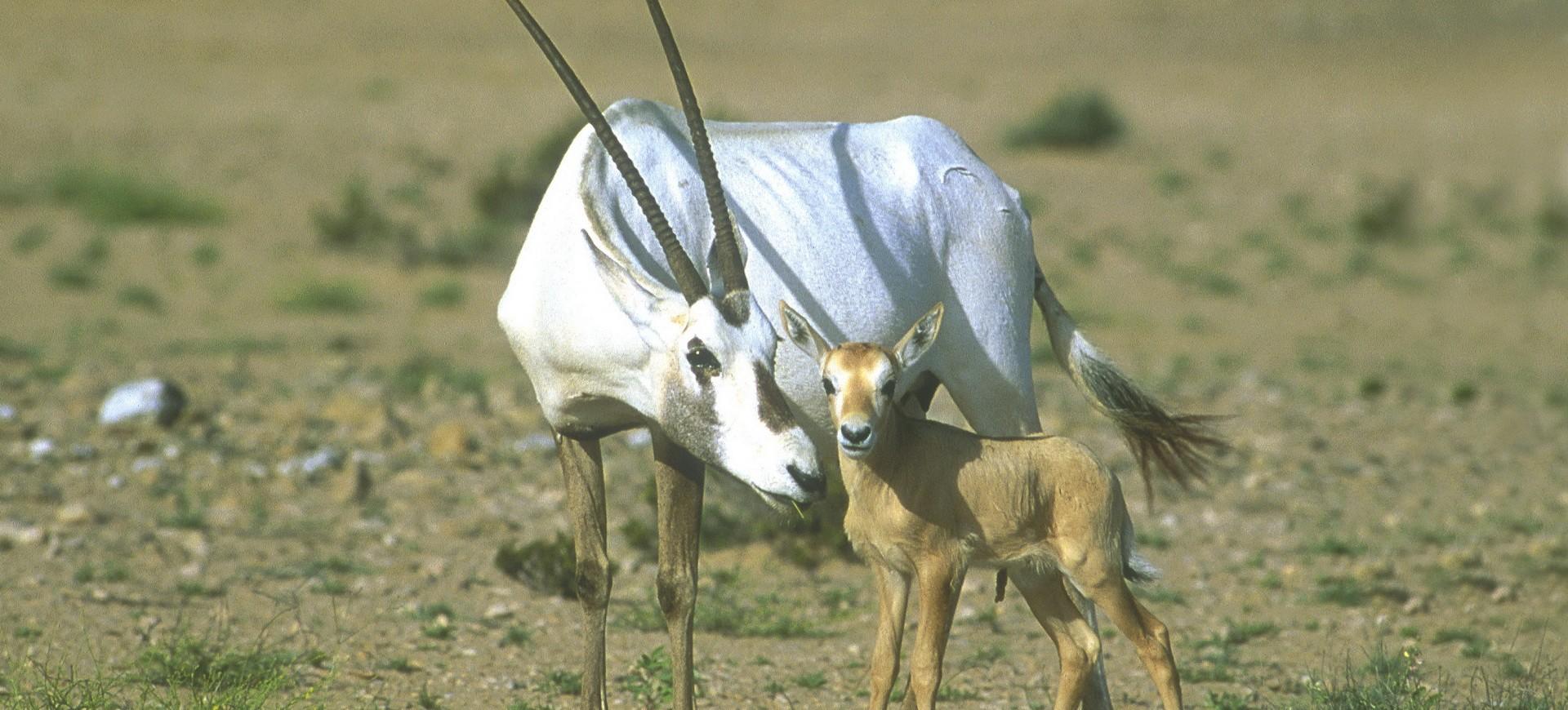 Oman Désert Réserve d'Oryx