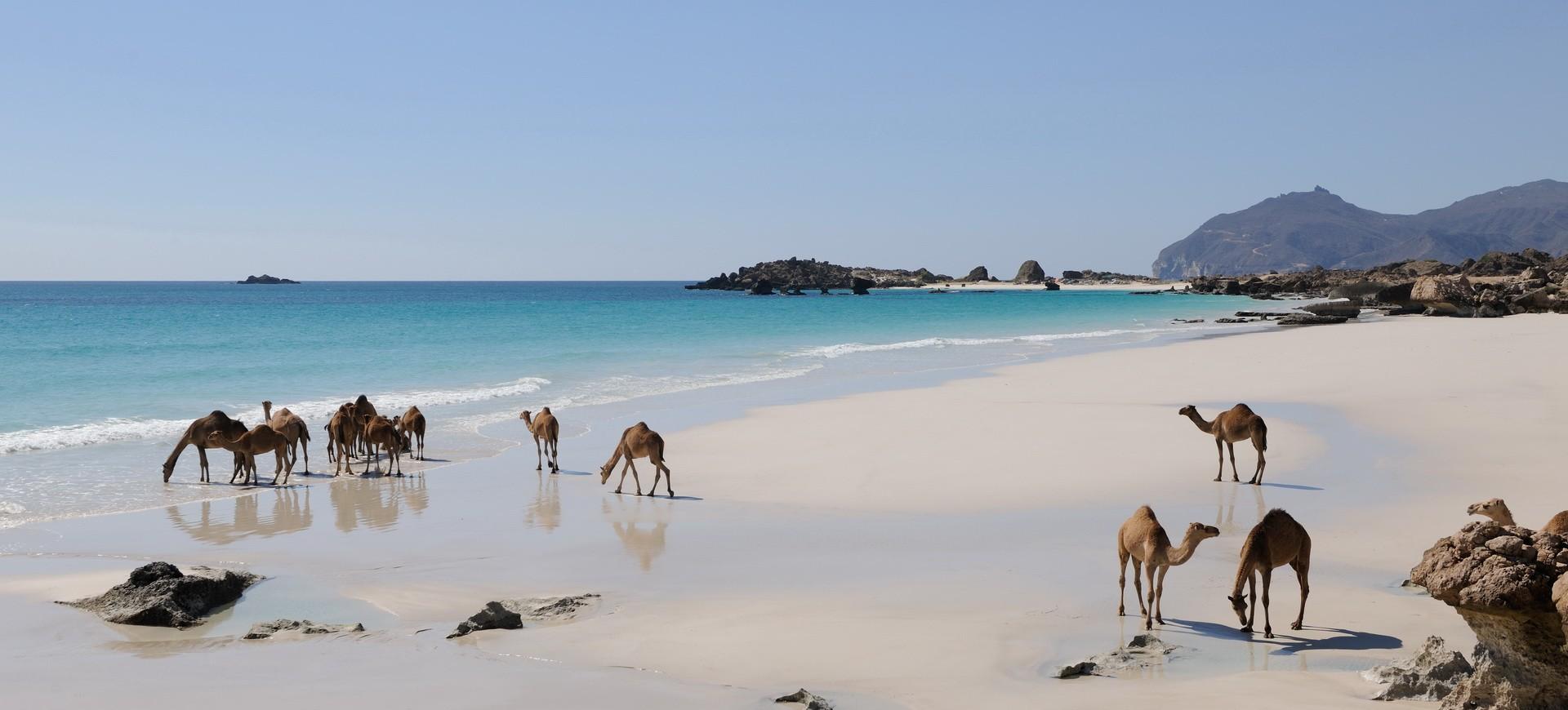 Un troupeau de Chameaux sur la plage de Dhofar à Oman