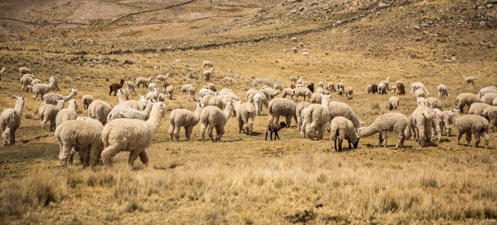 Un troupeau des Lamas à Chivay dans la Vlléee de Colca au Pérou