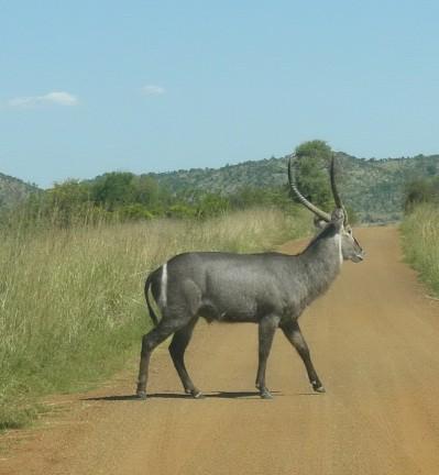 Afrique du Sud Parc Kruger Babouins