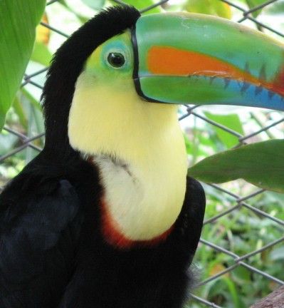 Costa Rica Toucan